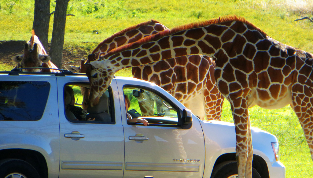 Get up close and personal with the animals at Fossil Rim Wildlife Center.